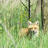 A red fox hiding in the tall grass in Fort Wayne, Indiana.